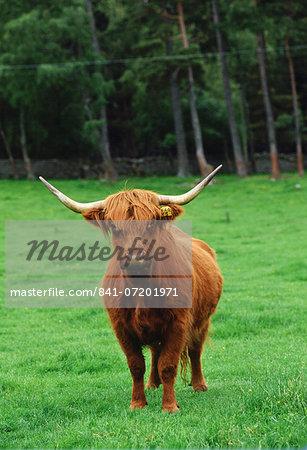 Highland cattle cow, Scotland, United Kingdom.