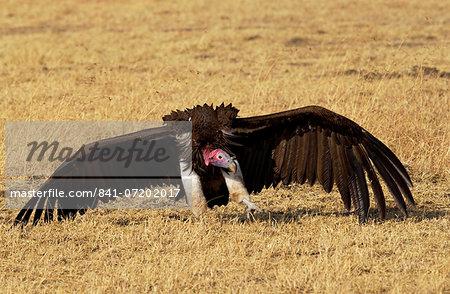 Lappet Faced Vulture Grumeti, Tanzania, East Africa