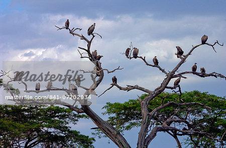 Flock of vultures roosting in trees, Grumeti, Tanzania, East Africa