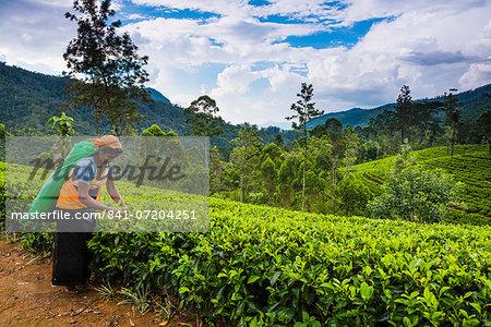 Tea picker in a tea plantation in the Hill Country, Sri Lanka's Central Highlands, Nuwara Eliya District of Sri Lanka, Asia