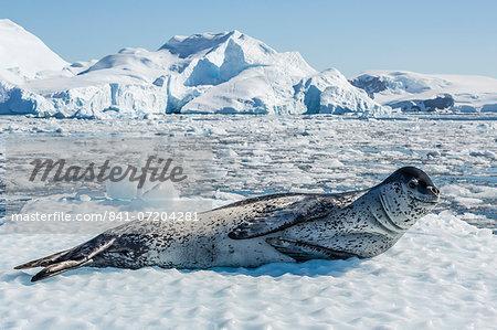 Adult leopard seal (Hydrurga leptonyx) on ice in Cierva Cove, Antarctic Peninsula, Antarctica, Southern Ocean, Polar Regions