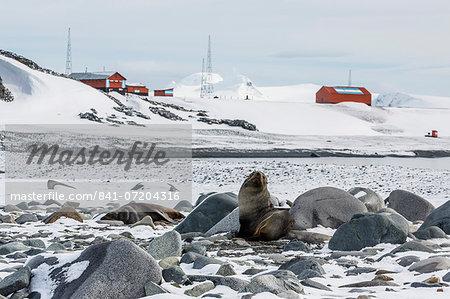 Adult Antarctic fur seals (Arctocephalus gazella), Half Moon Island, South Shetland Islands, Antarctica, Southern Ocean, Polar Regions