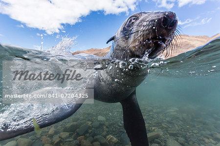 Antarctic fur seal (Arctocephalus gazella) pup underwater in Stromness Bay, South Georgia, South Atlantic Ocean, Polar Regions