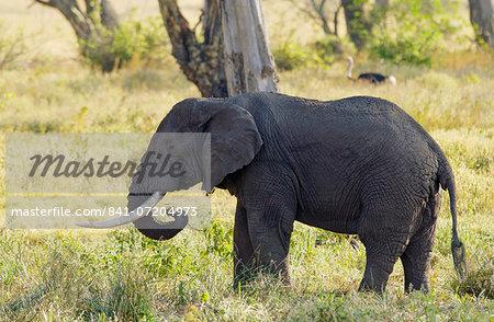 Elephant feeding in Ngorongoro Crater, Tanzania