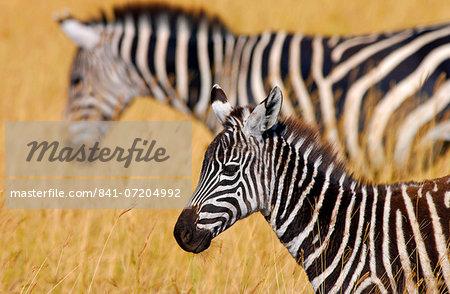 Common Plains Zebra (Grant's) & foal, Ngorongoro Crater, Tanzania