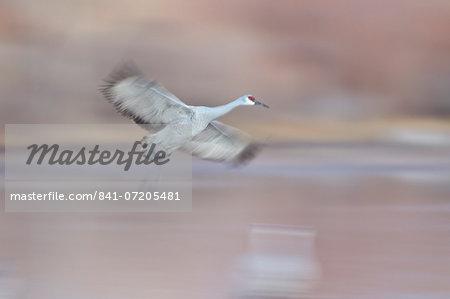 Sandhill crane (Grus canadensis) landing, Bosque del Apache National Wildlife Refuge, New Mexico, United States of America, North America