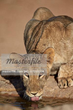 Lion (Panthera leo) cub drinking, Kgalagadi Transfrontier Park, encompassing the former Kalahari Gemsbok National Park, South Africa, Africa