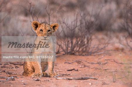 Lion cub (Panthera leo), Kgalagadi Transfrontier Park, South Africa, Africa