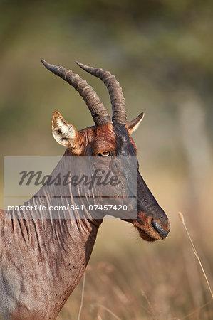 Topi (tsessebe) (Damaliscus lunatus), Serengeti National Park, Tanzania, East Africa, Africa