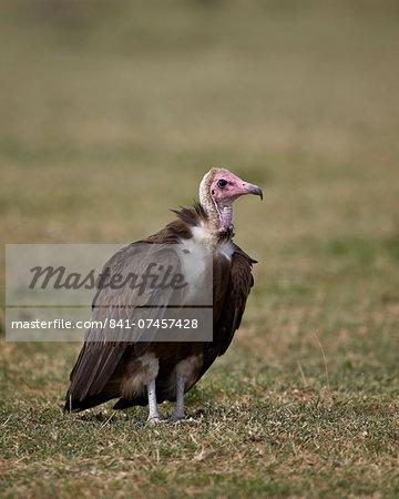 Hooded vulture (Necrosyrtes monachus), Serengeti National Park, Tanzania, East Africa, Africa