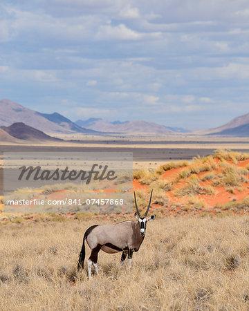 Gemsbok (Oryx gazella) on the dunes of the NamibRand Nature Reserve, Namib Desert, Namibia, Africa