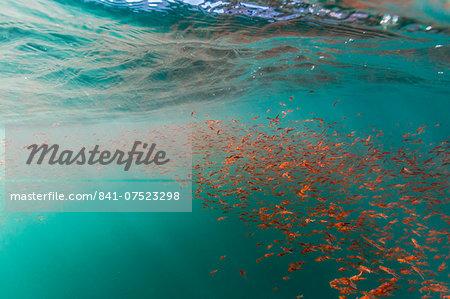 Dense swarms of juvenile squat lobster (Munida gregaria) off Akaroa, South Island, New Zealand, Pacific