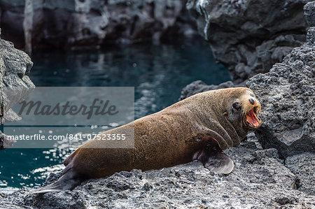 Galapagos fur seal (Arctocephalus galapagoensis) hauled out at Puerto Egas, Santiago Island, Galapagos Islands, Ecuador, South America