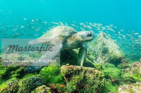 Adult green sea turtle (Chelonia mydas) underwater near Rabida Island, Galapagos Islands, Ecuador, South America