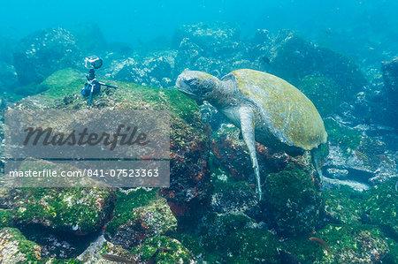 Adult green sea turtle (Chelonia mydas) underwater near camera, Isabela Island, Galapagos Islands, Ecuador, South America