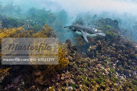 Galapagos penguin (Spheniscus mendiculus) underwater at Isabela Island, Galapagos Islands, Ecuador, South America