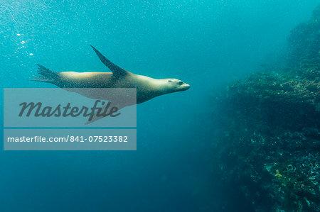 Galapagos sea lion (Zalophus wollebaeki) underwater at Isabela Island, Galapagos Islands, Ecuador, South America