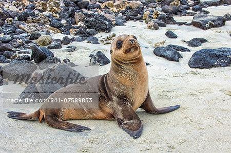 Galapagos sea lion pup (Zalophus californianus wollebaeki), Galapagos, UNESCO World Heritage Site, Ecuador, South America