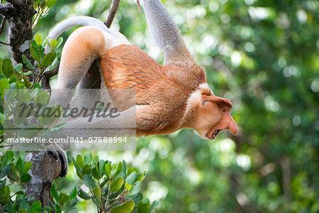 Dominant male proboscis monkey (Nasalis larvatus) in aggressive display to other males, Labuk Bay Proboscis Monkey Sanctuary, Sabah, Borneo, Malaysia, Southeast Asia, Asia