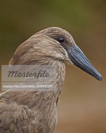 Hamerkop (Scopus umbretta), Hluhluwe Game Reserve, South Africa, Africa