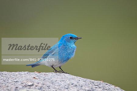Mountain Bluebird (Sialia currucoides) male, Yellowstone National Park, Wyoming, United States of America, North America