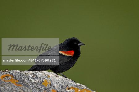 Male Red-Winged Blackbird (Agelaius phoeniceus), Yellowstone National Park, Wyoming, United States of America, North America