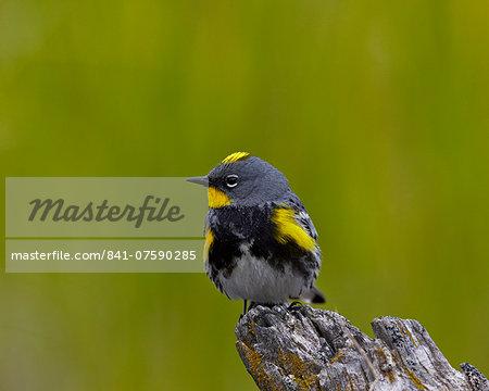 Male Audubon's Yellow-Rumped Warbler (Dendroica coronata auduboni), Yellowstone National Park, Wyoming, United States of America, North America
