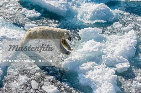Adult polar bear (Ursus maritimus) on ice floe, Cumberland Peninsula, Baffin Island, Nunavut, Canada, North America