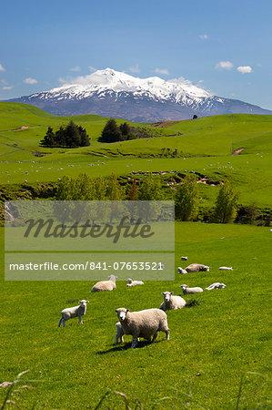 Sheep grazing beneath Mount Ruapehu, Tongariro National Park, UNESCO World Heritage Site, North Island, New Zealand, Pacific