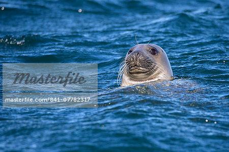 Grey seal (Halichoerus grypus) swimming, Farne Islands, Seahouses, Northumberland, England, United Kingdom, Europe