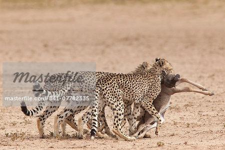 Cheetah (Acinonyx jubatus) dragging baby common wildebeest kill (Connochaetes taurinus) to cover, Kgalagadi Transfrontier Park, South Africa, Africa