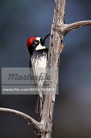 Acorn woodpecker (Melanerpes formicivorus), Chiricahuas, Coronado National Forest, Arizona, United States of America, North America
