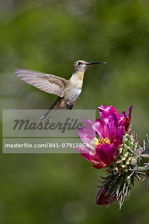 Female broad-tailed hummingbird (Selasphorus platycercus) feeding at a Walkingstick Cholla (Cane Cholla) (Opuntia spinosior), Arizona, United States of America, North America