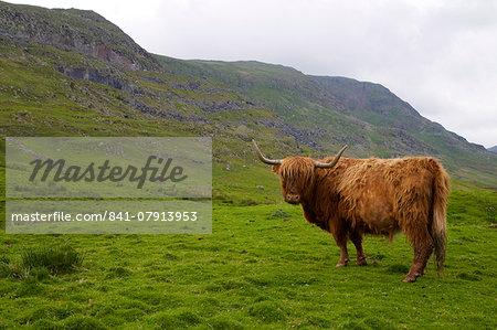 Highland cow, Kirkstone Pass, Lake District National Park, Cumbria, England, United Kingdom, Europe