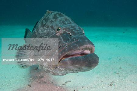 Large Nassau grouper, Bahamas, West Indies, Central America