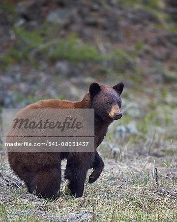 Cinnamon black bear (Ursus americanus), Yellowstone National Park, Wyoming, United States of America, North America