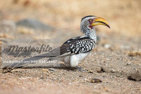 Yellowbilled hornbill (Tockus leucomelas), Kruger National Park, South Africa, Africa