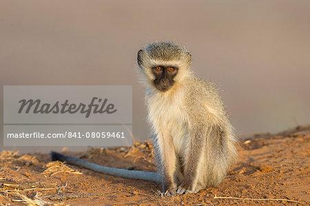 Vervet monkey (Cercopithecus aethiops), Kruger National Park, South Africa, Africa