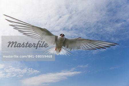 Arctic tern (Sterna paradisaea), in flight, Farne Islands, Northumberland, England, United Kingdom, Europe