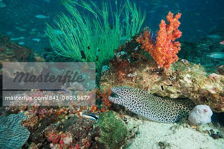 Spotted eel at the Aquarium, Dimaniyat Islands, Gulf of Oman, Oman, Middle East