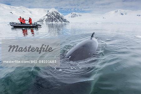 A curious Antarctic minke whale (Balaenoptera bonaerensis) approaches the Zodiac in Neko Harbor, Antarctica, Polar Regions
