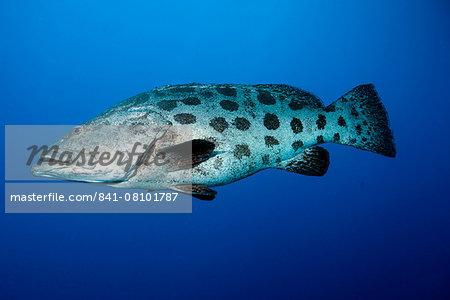 Potato cod (Epinephelus tukula) (potato grouper) (potato bass), Cod Hole, North Ribbon reef, Great Barrier Reef, Queensland, Australia, Pacific