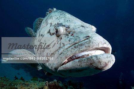 Potato cod (Epinephelus tuku) (potato grouper) (potato bass), Cod Hole, North Ribbon reef, Great Barrier Reef, Queensland, Australia, Pacific