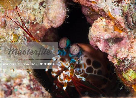 Mantis shrimp (Gonodactylus sp.), a hole dwelling crustacean, Queensland, Australia, Pacific