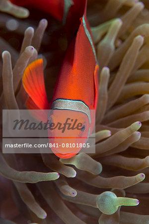 Spine-cheek Anemonefish (Premnas biaculeatus), Queensland, Australia, Pacific