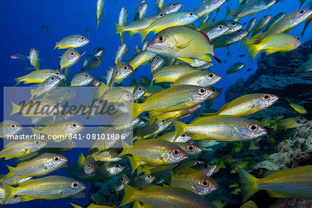 Schooling yellow-striped goatfish (Mulloidichthys vanicolensis). Great Barrier Reef, Queensland, Australia, Pacific
