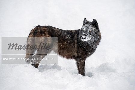 Black fox (Vulpes vulpes), Montana, United States of America, North America