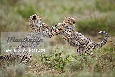 Two cheetah (Acinonyx jubatus) cubs playing, Ngorongoro Conservation Area, Serengeti, Tanzania, East Africa, Africa