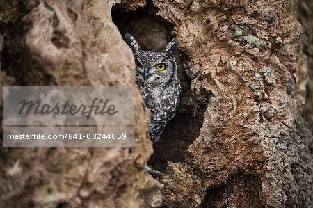 Spotted eagle owl (Bubo africanus), Herefordshire, England, United Kingdom, Europe