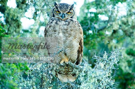 Great horned owl (Bubus Virginianus nacurutu), Patagonia, Argentina, South America